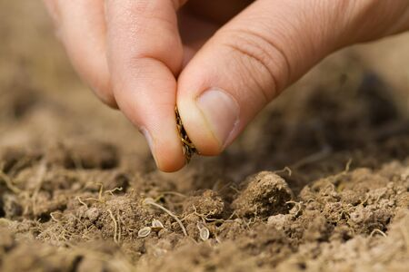 manual planting of dill seeds in the soil, closeup