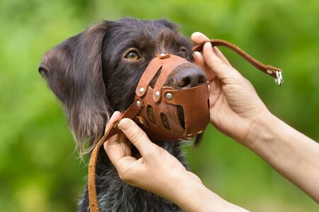 human hands put on a leather muzzle to muzzle a dog