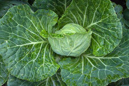fresh vegetable - green cabbage growing in the kitchen garden, closeup