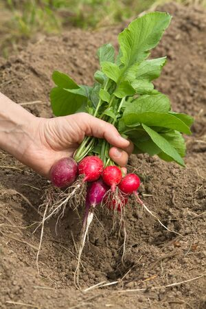 a bunch of freshly picked radishes in a womans hand on a blurred background