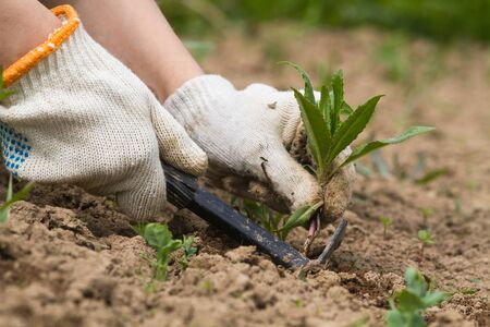 the gardener loosens the soil and removes weeds with a garden tool Archivio Fotografico