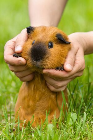 human hands gently lift red guinea pig over the green grass