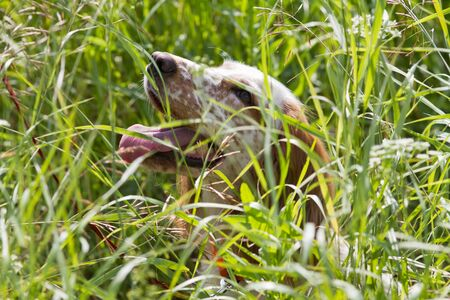 Hunting dog spaniel sitting in the thick grass on a hot sunny day