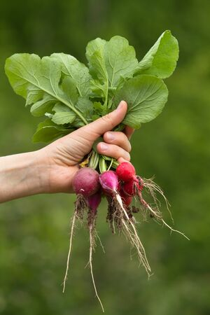 a bunch of fresh radishes in woman hand on blurred green background