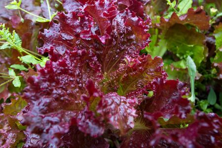 fresh lettuce leaves grow in a garden bed 스톡 콘텐츠