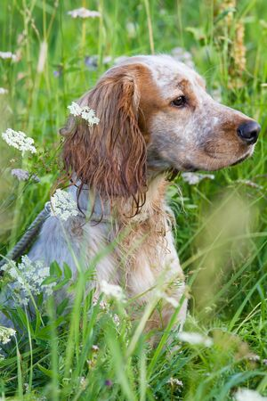 hunting dog spaniel sits in a thick thicket of tall grass on a sunny summer day