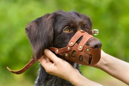 the owner fastens a leather muzzle on his dog