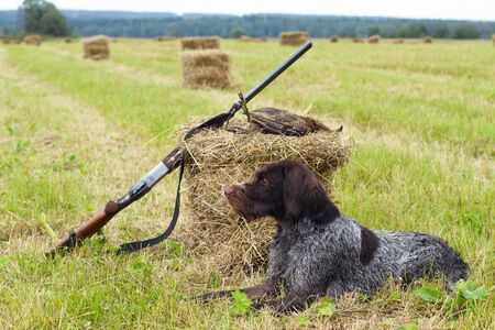 a hunting dog lies next to a shotgun and a downed grouse on a mown hay 스톡 콘텐츠