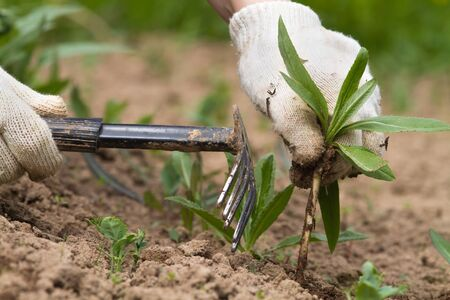 the gardener clears his plants from weeds with a garden tool 스톡 콘텐츠