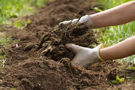 rotted manure in the hands of a gardener who fertilizes the soil Standard-Bild