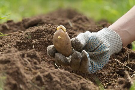 the seed potato tuber is in the hands of a farmer over the plowed soil