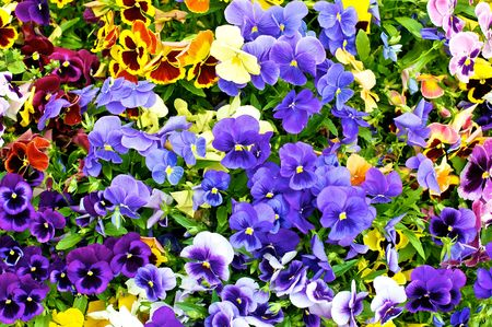 pansy with different colors  photo