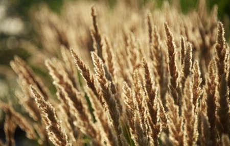 reed stem: Reed at sunset, closeup shot