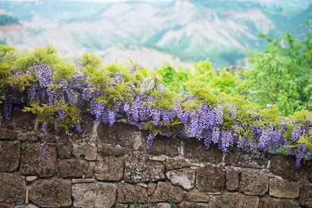 blooming: Blooming wisteria