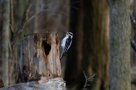 Hairy Woodpecker (Dryobates villosus) on a tree stump