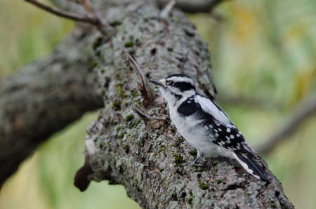 Downy Woodpecker (Dryobates pubescens) is one of the smaller species of woodpeckers. They closely resemble the coloring of their larger cousins the Hairy Woodpecker, so much so that it is often difficult to tell them apart in photos without something to judge scale by. Foto de archivo