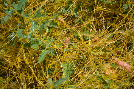 Dodder (Genus Cuscuta) is a parasitic plant that is totally dependent on other host plants for survival Stock Photo