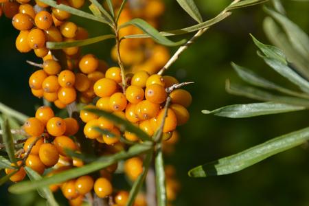 branch of sea buckthorn berries Stock Photo