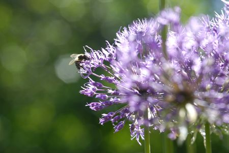 flowering onion and bee photo