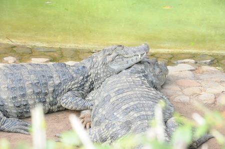 alligators: alligators
