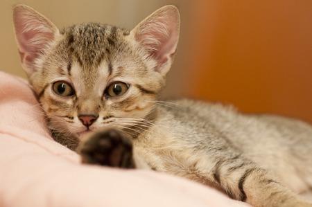 A babe brazilian short hair cat