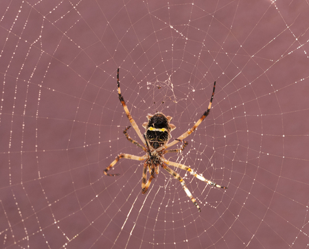 Spider resting on its cobweb after rain Stock Photo