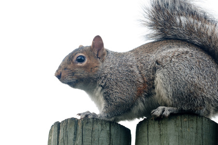 Squirrels belong to a large family of small or medium-sized rodents called the Sciuridae. Stock Photo