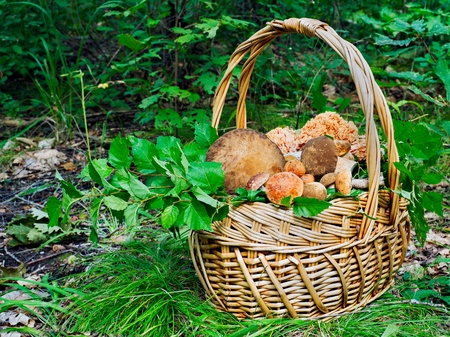 The basket of mushrooms in the autumn forest in sunny day photo