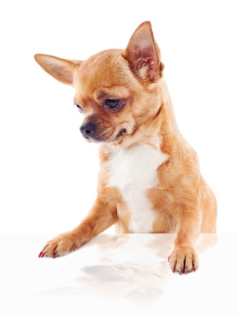 red chihuahua dog isolated on white background photo
