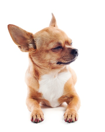 red chihuahua dog isolated on white background