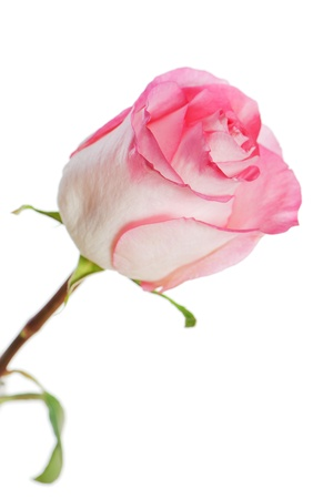 rose isolated on white background Stock Photo - 16988829