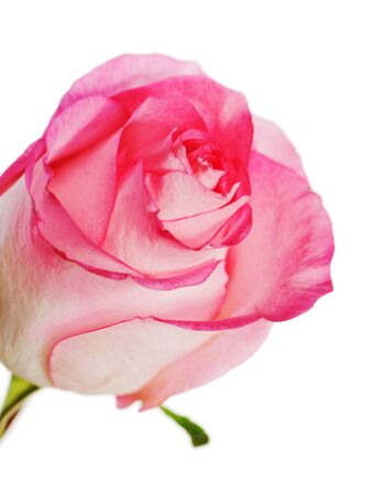 rose isolated on white background Stock Photo - 16988833