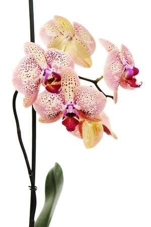 tiger orchid isolated on white background photo