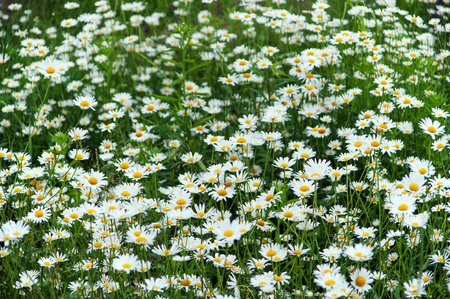 ox eye: green flowering meadow with white daisies Stock Photo
