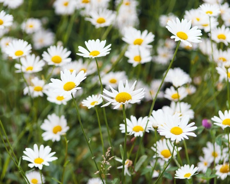 green flowering meadow with white daisies Stock Photo
