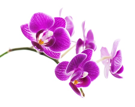 Rare purple orchid isolated on white background  Banco de Imagens