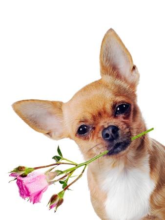 perro chihuahua: Chihuahua perro con la rosa aislada en el fondo blanco