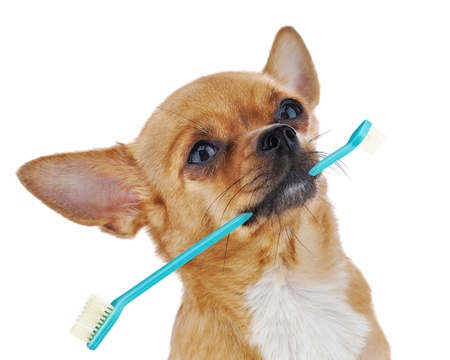 Red chihuahua dog with toothbrush isolated on white background  Closeup  Banco de Imagens