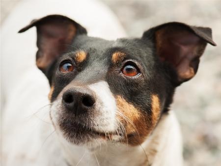 ojos marrones: Jack Russell Terrier Foto de archivo