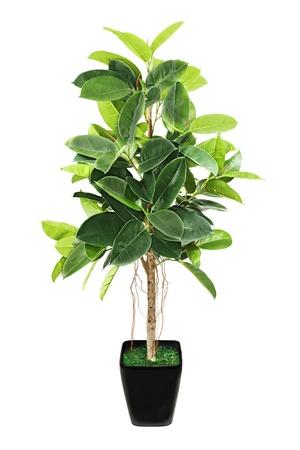 Ficus elastica (Indian Rubber Bush) in black flowerpot on white background. Stock Photo