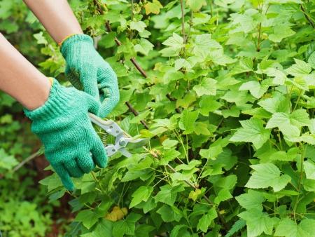 Hands with garden pruner in the garden.  photo