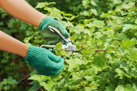 Hands with green pruner in the garden. photo
