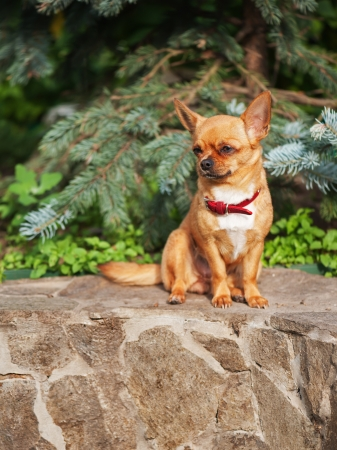 Red chihuahua dog sits on a granite pedestal. Seleсtive focus.