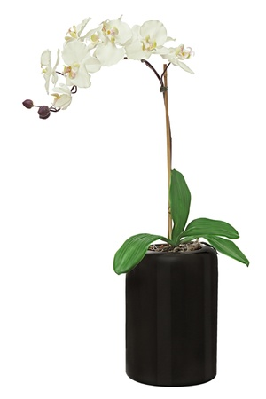 Orchid in black flowerpot isolated on white background. Closeup.