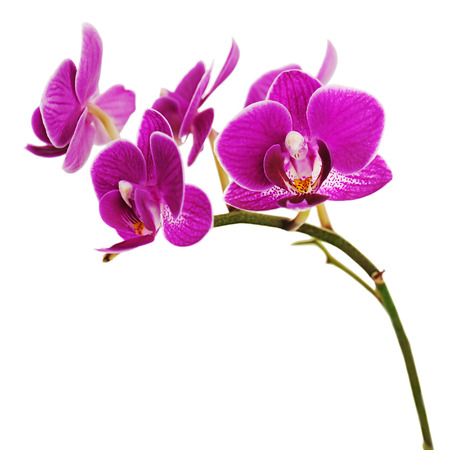yellow orchid: Very rare purple orchid isolated on white background. Closeup.