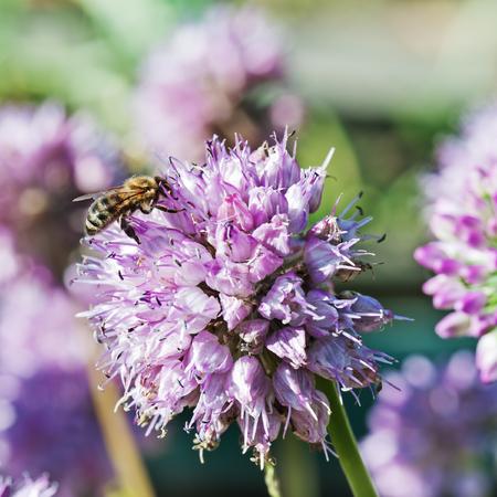 Macro shot of honey bee on blue flower. photo