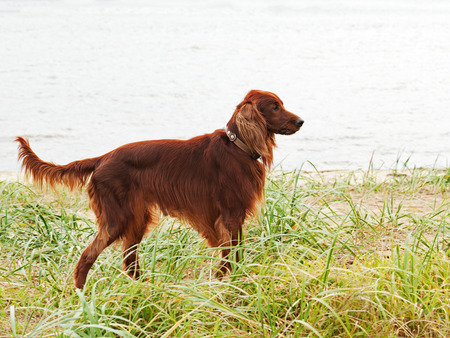 Hunting irish setter standing in the grass. Autumn hunting. photo
