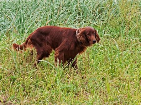 Hunting irish setter standing in the grass. Autumn hunting. photo