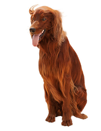 Hunting irish setter sitting isolated on white background. Closeup. photo
