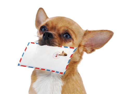 air mail: Red chihuahua dog with post envelope isolated on white background. Closeup.
